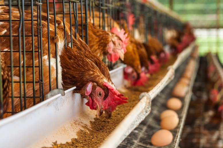 poultry layers Business opportunities in nigeria