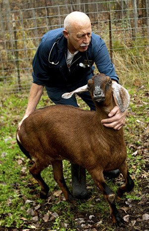 Goat with veterinarian - goat business profit