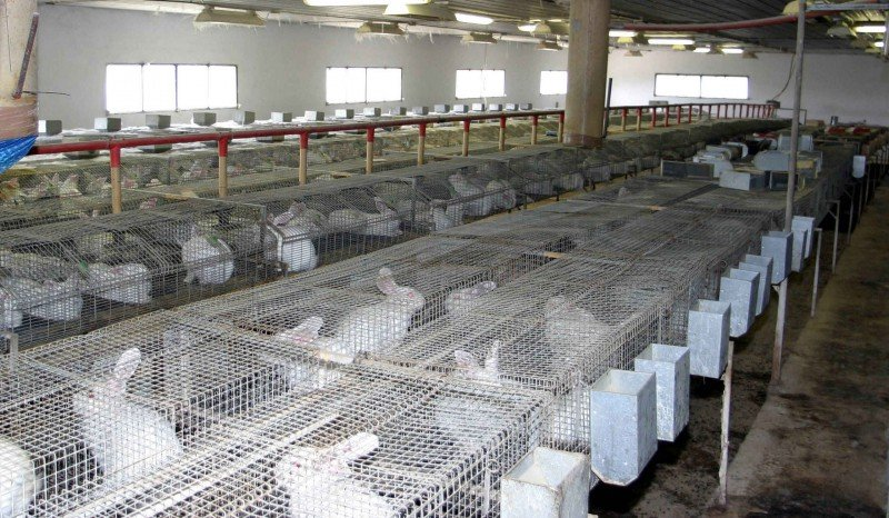 rabbit rearing - commercial rabbit rearing