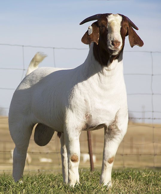 image of boer goat farming business
