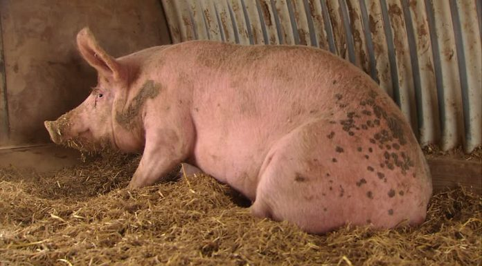 how to start commercial pig farming in Nigeria