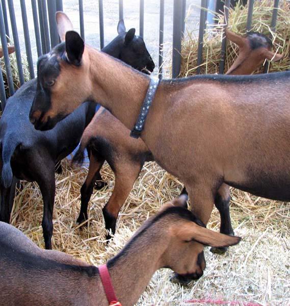 Oberhasli_goat image
