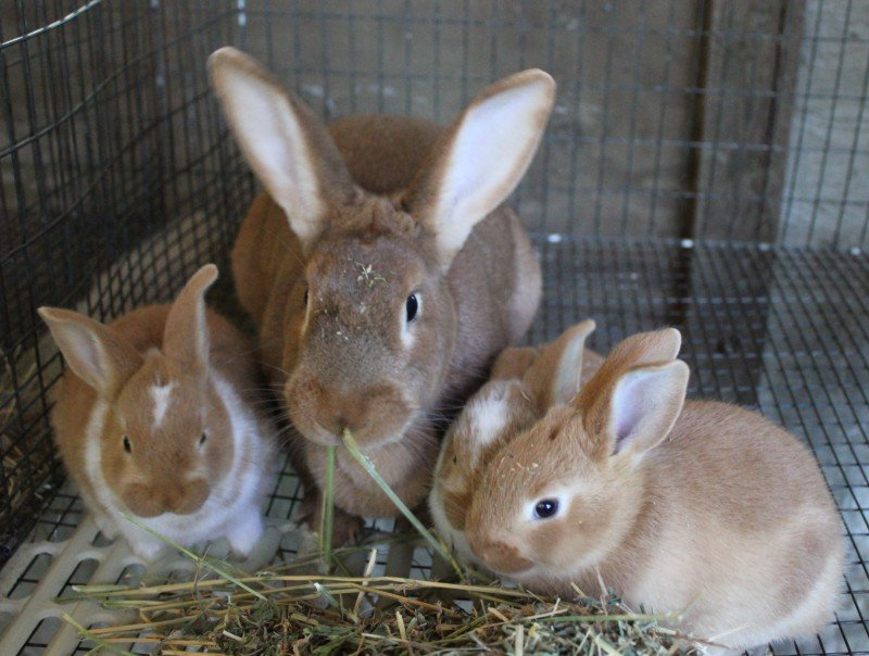 Image of rabbit and kits feeding - Rabbit breeding