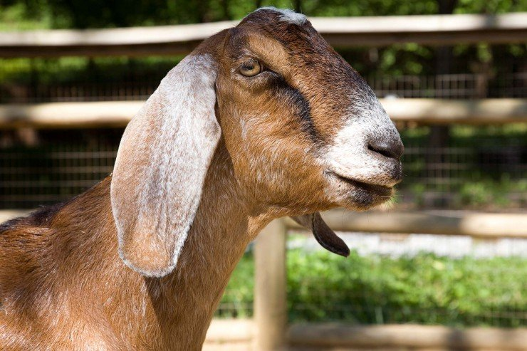 goat project - nubian goat breed