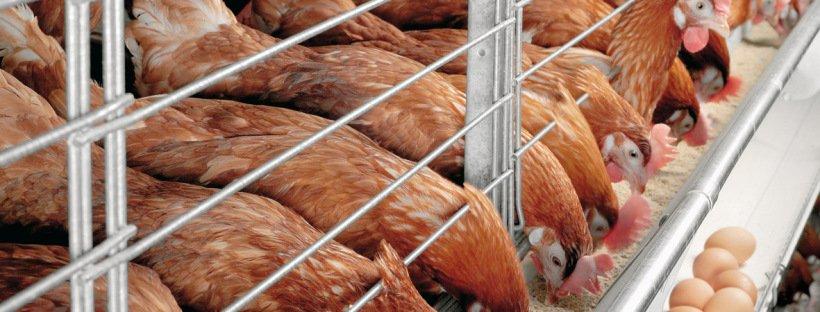 poultry farm cost estimate