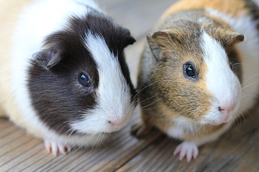Guinea pig farm in Nigeria