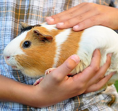 Guinea pig farming business