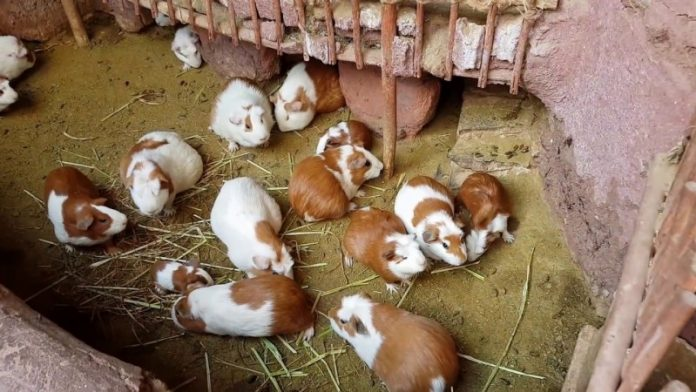 How to start Guinea pig farming business in Nigeria