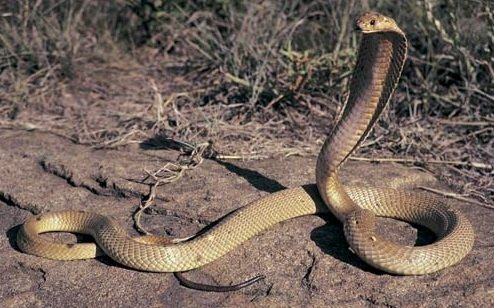 Philippine cobra snake deadly reptile