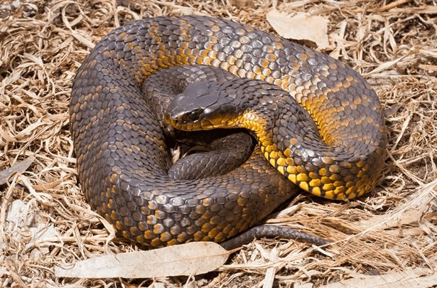 Tiger snake - poisonous reptiles