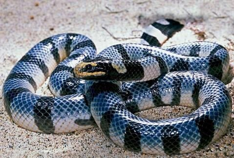 blue krait dangerous snake in the world