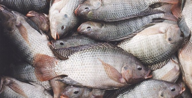 Cat fish farming business