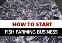 How to start fish farming in Nigeria - Catfish farming business today